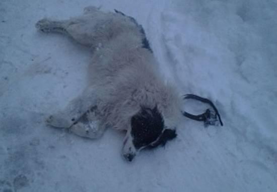 «Лайка» застрелила домашнюю собаку