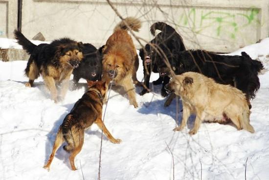 Собаки с ошейникми не подвергаются отлову. Интервью с Михаилом Панфиловым
