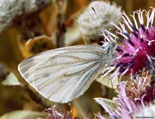 Откуда в Рязанской области появилось столько бабочек?